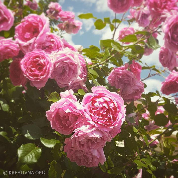 Fotografija ružinog grma u cvatu